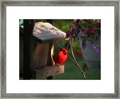 Cardinal Framed Print by Judy Via-Wolff