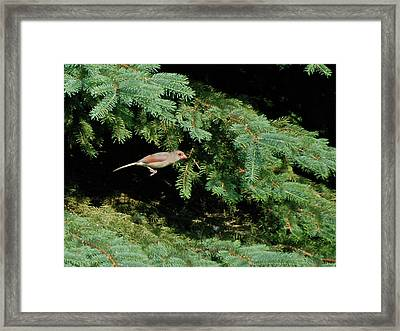 Framed Print featuring the photograph Cardinal Just A Hop Away by Thomas Woolworth