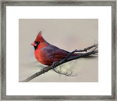 Cardinal On Gray Framed Print by Ann Bridges