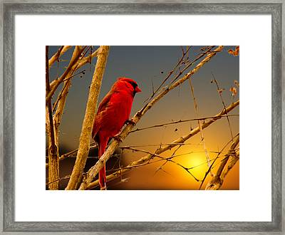Cardinal Sunrise Framed Print by Barry Jones