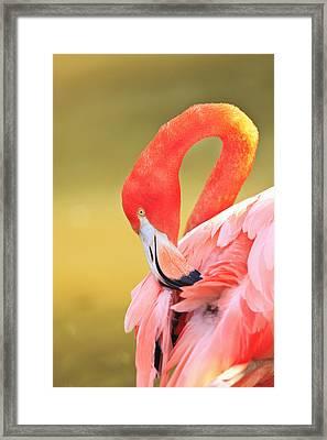 Caribbean Flamingo Phoenicopterus Rube Framed Print by Stuart Westmorland
