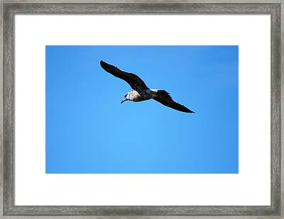 Carmel Bird In Flight Framed Print by Harvey Barrison