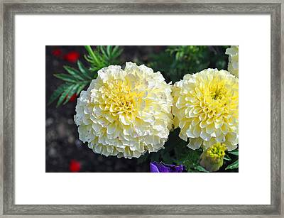 Framed Print featuring the photograph Carnations by Tikvah's Hope