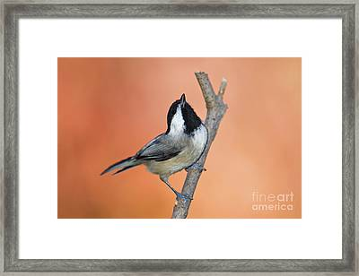 Carolina Chickadee - D007814 Framed Print