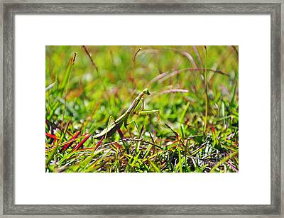 Carolina Mantis Framed Print by Al Powell Photography USA