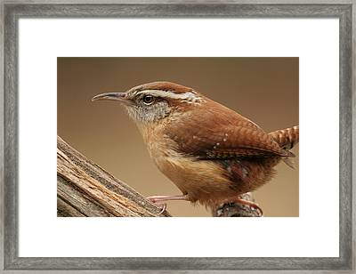 Carolina Wren Framed Print by Daniel Reed