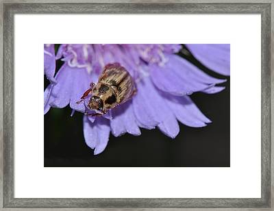 Carpet Beetle On Stokes Aster Framed Print