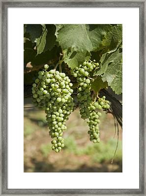 Casa Blanca Valley, Wine Growing Region Framed Print by Richard Nowitz