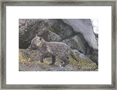 Cascade Red Fox Kit Framed Print by Sean Griffin