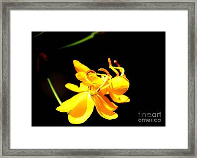 Cassia Blossom Framed Print by Theresa Willingham