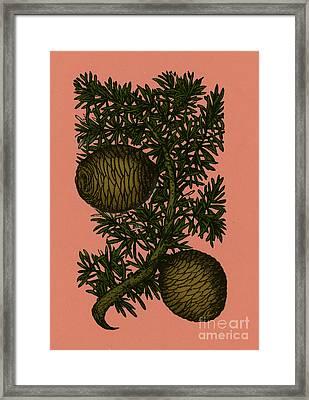 Cassia Tree, Alchemy Plant Framed Print by Photo Researchers