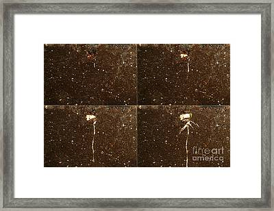 Castor Bean Germination Sequence Framed Print by Ted Kinsman