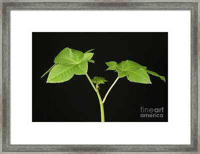 Castor Bean Plant Framed Print by Ted Kinsman