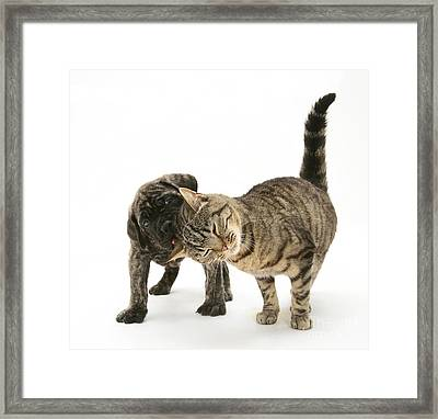Cat And Mastiff Pup Framed Print by Jane Burton