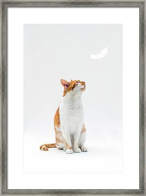 Cat Looking Up Towards Falling White Feather Framed Print by Image by Catherine MacBride