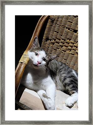 Cat Lying On Wooden Children Chair Framed Print by Sami Sarkis