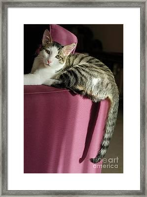 Cat On Sofa Framed Print by Sami Sarkis