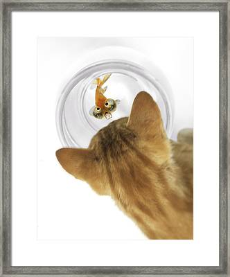 Cat Peering Into Fishbowl Framed Print by Darwin Wiggett