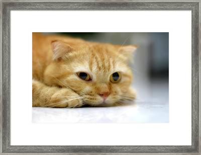 Cat Resting On His Chin Framed Print