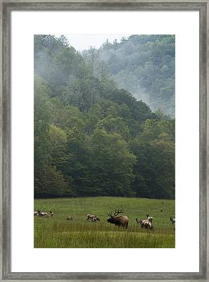 Cataloochee Elk Framed Print by Carrie Cranwill