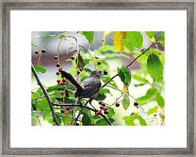 Catbird With Berry - Rear View Framed Print