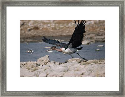 Catch-as-catch Can Is Etoshas Framed Print by Des &Amp Jen Bartlett