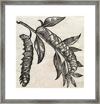 Caterpillars, 17th Century Artwork Framed Print