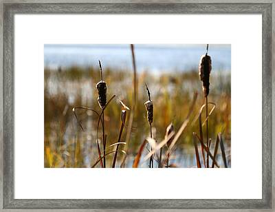 Cattails Framed Print by Brady D Hebert