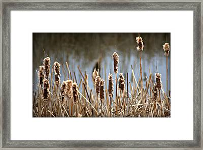 Cattails Going To Seed Framed Print by John Wright