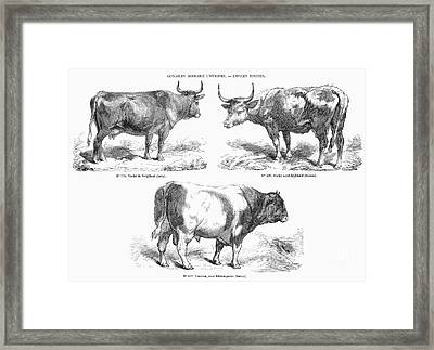 Cattle Breeds, 1856 Framed Print by Granger