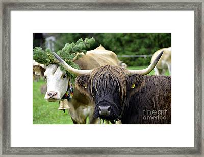 Cattle Drive In Alps Framed Print