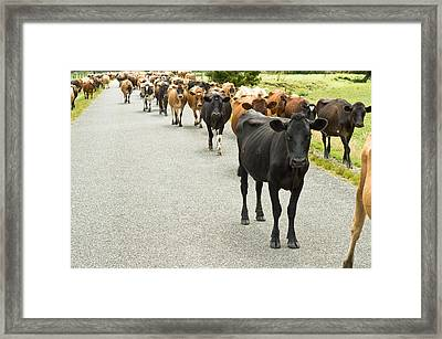 Cattle Drive On A Road  Framed Print by Ulrich Schade