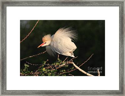 Cattle Egret Display Framed Print by Jennifer Zelik