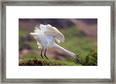 Cattle Egret Framed Print