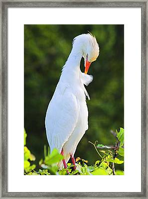 Framed Print featuring the photograph Cattle Egret- St Lucia by Chester Williams
