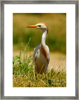 Cattle Egret With Closed Eyelid Framed Print by Robert Frederick