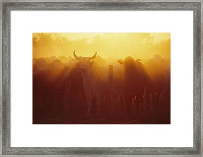 Cattle Gather At A Watering Hole Framed Print
