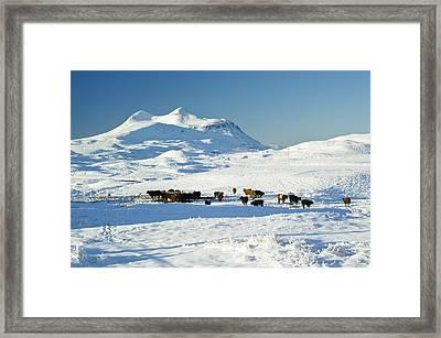 Cattle In The Scottish Highlands Framed Print