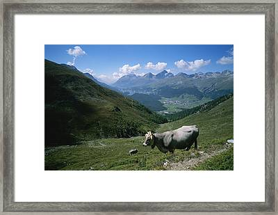 Cattle On A Hillside With The Town Framed Print