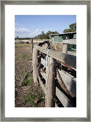 Framed Print featuring the photograph Cattle Race. by Carole Hinding