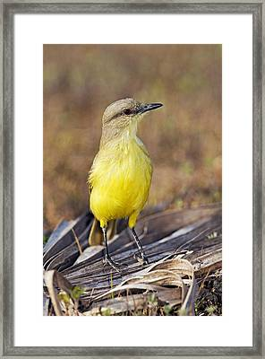 Cattle Tyrant Flycatcher Framed Print by Tony Camacho