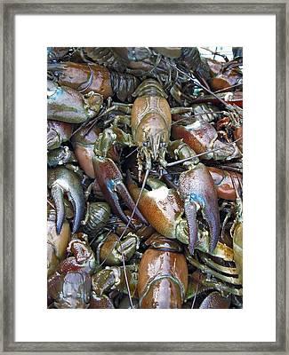 Caught Crayfish Framed Print