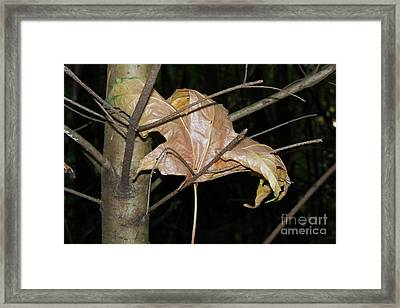 Caught In Fall Framed Print by Laurel Thomson