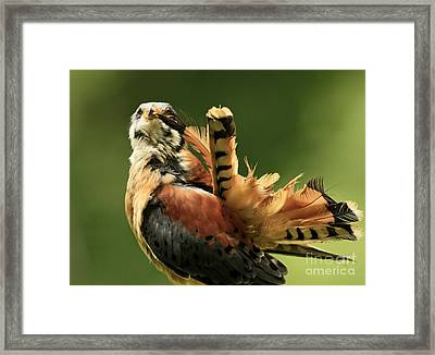 Caught In The Act  American Kestrel Pruning Framed Print by Inspired Nature Photography Fine Art Photography