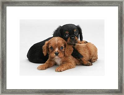 Cavalier King Charles Spaniel Puppies Framed Print by Jane Burton