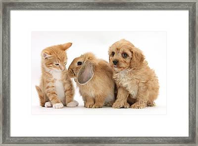 Cavapoo Pup, Rabbit And Ginger Kitten Framed Print by Mark Taylor