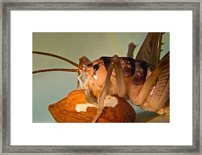 Cave Cricket Feeding On Almond 16 Framed Print by Douglas Barnett