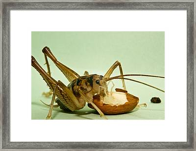 Cave Cricket Feeding On Almond 8 Framed Print by Douglas Barnett