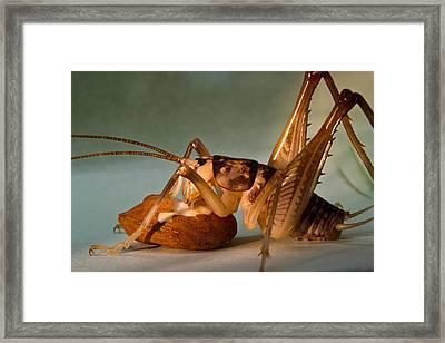Cave Cricket Feeding On Almond 9 Framed Print by Douglas Barnett