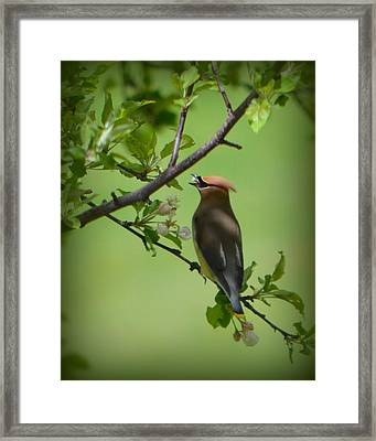 Cedar Wax Wing Framed Print by Carol Norman